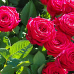 Roses bloom with epsom salts