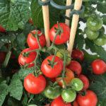 Tomato Crop Epsom Salts