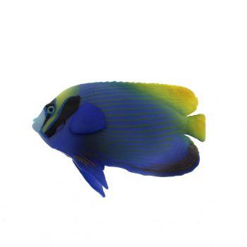 Underwater Friends Emperor Angelfish Aquarium Fish Tank Aqua One Glow In Dark